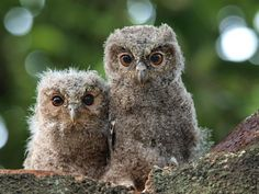 Photograph by Irawan Subingar:    These two owlets are known as Sunda scops (Otus lempiji). Description from pinterest.com. I searched for this on bing.com/images