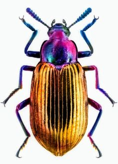 Beetle Insect, Beetle Bug, Insect Art, Bug Insect, Cool Insects, Bugs And Insects, Nature Animals, Animals And Pets, Art Bio