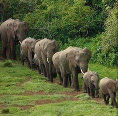 Save the elephants. Leading the way 💖 Nature Animals, Animals And Pets, Baby Animals, Cute Animals, Baby Hippo, Photo Elephant, Elephant Love, Elephant Family, Elephant Parade
