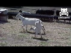Baby goat walks on two front legs!