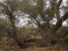 Large Willow Tree in the Center of Larry Moore Park, © B. Radisavljevic