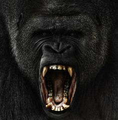 Silverback Gorilla~  Give the Ape what he wants....