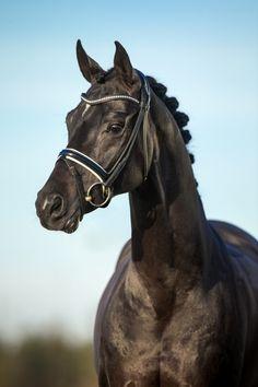 Oldenburg stallion - SOLIMAN DE HUS