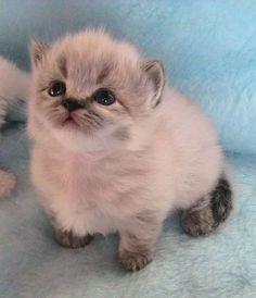 Munchkin kitty :) munchkin cat breed - Google Search