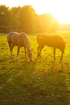 Horses grazing in the sunset.