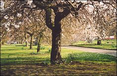 Spring blossoms in Charlotte Square, in the New Town, Edinburgh
