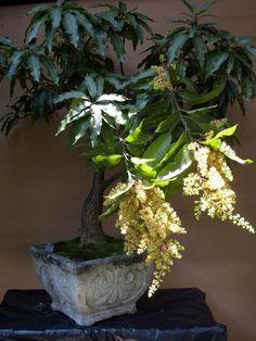 Mango bonsai for space conscious folks - Tropical Fruits Forum - GardenWeb