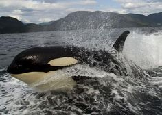 Blog de angelfive - Page 23 - Pour l'amour des orques - Skyrock.com