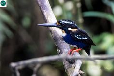 https://www.facebook.com/WonderBirdSpecies/ Silvery kingfisher (Ceyx argentatus); Endemic to the Philippines; IUCN Red List of Threatened Species 3.1 : Near Threatened (NT)(Loài sắp bị đe dọa) || Bói cá bạc; Loài đặc hữu Philippines; ; HỌ BỒNG CHANH - ALCEDINIDAE (River kingfishers).
