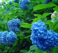 100 Bright Blue Hydrangea Flower Seeds  Long by FancyGarden