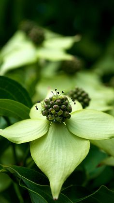 dogwood: I grew up with these all over in Virginia. (state tree)  I miss them here in TX.  I would love to get some in my backyard.