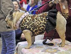 french bulldog...
