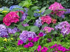 If you ever wished for a dreamy hydrangea garden, you'll love these simple tips for growing healthy, beautiful hydrangeas. From planting to pruning, watering, and fertilizing, you'll have everything you need. #hydrangeas #lanscaping #hydrangeaflowers #pinkhydrangeas #bluehydrangeas #purplrhydrangeas #romanticflowers Rooting Hydrangea Cuttings, Hydrangea Potted, Hydrangea Varieties, Smooth Hydrangea, Hydrangea Bush, Hydrangea Colors, Hydrangea Care, Hydrangea Not Blooming, Hydrangea Flower