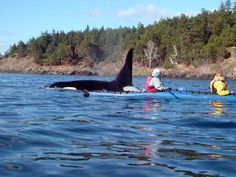 Whale watching by kayak. One of the best ways to view orcas! Remember the marine mammal watching rules still apply to kayaks.