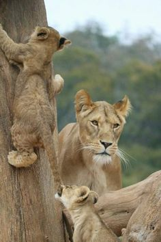 Lion cubsPlaying#mother  Keeping watch