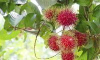 Consejos para sembrar rambután en el jardín - Hogar Total