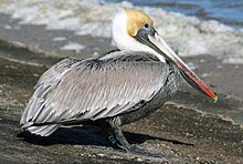 Brown Pelican Classification | Brown Pelican21K.jpg