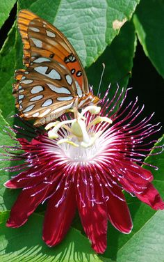 Gulf Fritillary on Passion Flower by Flickr User: chefrx