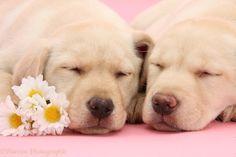 White Yellow Labrador Retriever | WP31794 Yellow Labrador Retriever bitch pup, 10 weeks old, asleep with ...