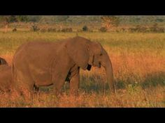 "A wonderful video:""African Savanna"" by Pim Niesten, to use one the day when grasslands are introduced!"