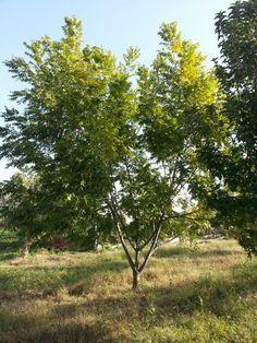 Pikan ağacı -  Pecan Tree