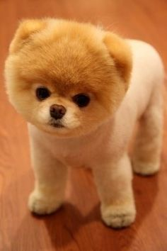 """Boo,The world's cutest dog."" For those who don't know,Boo is a shaved Pomeranian, just to let you know if you ever said you wanted a dog that looked like boo;)"
