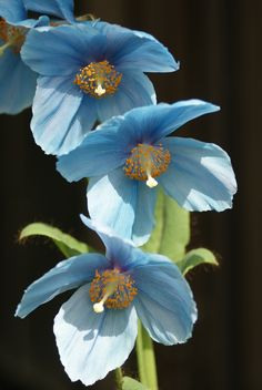 Himalayan Blue-poppy: Meconopsis [Family: Papaveraceae] Flickr - Photo Sharing!#flowers