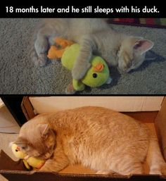 The cutest friendship... this is crazy. my kitty had a stuffed duck and would carry it around and snuggle with it like this. before he passed he hid it. was so awesome finding it :)