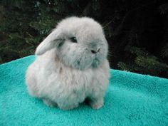 a holland lop bunny!! i really want one