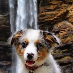 """Look what I found! A water bowl that keeps on refilling!"" writes @indietheaussiepup #dogsofinstagram #dog #pet #instafollow #cat"