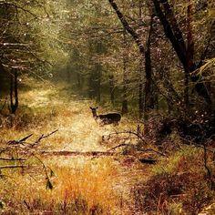 Prachtige foto van een damhert in het Deelderwoud door Jan Burgers. #Fotowedstrijd #Natuurmonumenten.