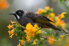 Belford's Honeyeater (Melidectes belfordi) A bird feeding on flowers