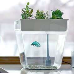This combination of herb garden and self-cleaning fish tank creates an ecosystem that makes growing edible greens easy and fun. Indoor Pond, Indoor Water Garden, Water Gardens, Indoor Plants, Indoor Herbs, Aquaponics System, Aquaponics Fish, Backyard Aquaponics, Hydroponic Gardening