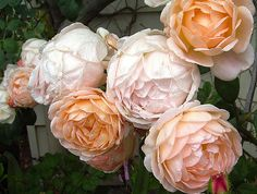 david austin rose sweet juliet | ... from Historical and English roses - bushes…