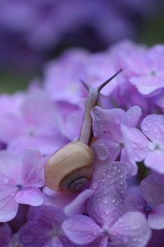 the enchanted wind — mistymorningme: Snails and Hydrangea Rain...