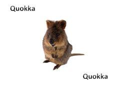 Quokka - Quokka