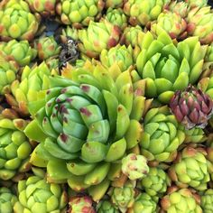 Sempervivum 'Cookie'