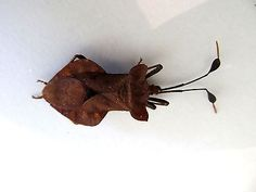 Large Mantis WOW Taxidermy REAL Insect Deroplatys desicata Female