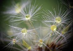 #macro #dandelion #waterdrops  #fineart #art #amazing #closeup