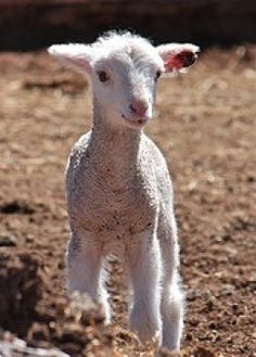 4-H - How to select and show a market lamb