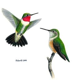 Broad-tailed Hummingbird Pair Painting  - Broad-tailed Hummingbird Pair Fine Art Print