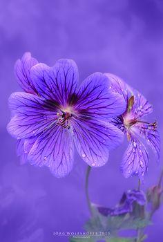 """Purple in Art / """" Beauty Queen (by Jörg Wolfshöfer) """""""