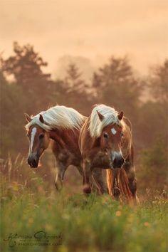Haflingers.