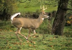 Male white tailed deer. Sooo cute