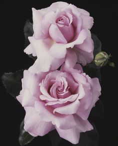 Memorial Day Hybrid Tea Rose - Celebrate Memorial Day all summer long with this fragrant keepsake of lavender pink.
