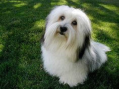 Coton de Tulear Breeders Do Not Cotton to the American Kennel Club