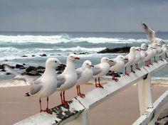 Seagulls at Nobby's Beach, Newcastle, New South Wales, Australia Image Nature, I Love The Beach, Tier Fotos, Mundo Animal, Am Meer, Sea Birds, Beach Scenes, Beach Cottages, Ocean Beach
