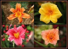 A few of my Daylily collection.  It seems to be growing every year. :)