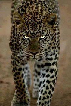 Big #cat
