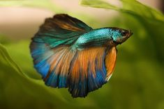 Betta media luna turquesa y oro - #Betta #luna #media #oro #turquesa
